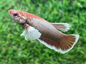 Live Betta Fish Female Fancy Dumbo Betta HMPK Age 4 month From Thailand $8.90