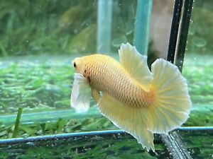 Live Betta Fish Male Fancy Dumbo Betta HMPK Age 4 month From Thailand $7.90