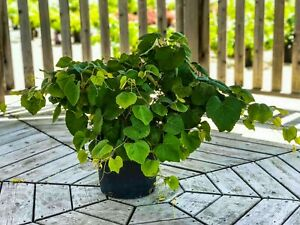 Marquette Grape Vine Vitas Marquette 3 Gal Large Potted Plant Free Shipping $79.99