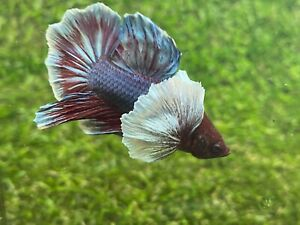 Live Betta Fish Male Fancy Dumbo Betta HMPK Age 4 month From Thailand $9.90