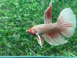 Live Betta Fish Male Fancy Dumbo Betta HMPK Age 4 month From Thailand $8.90