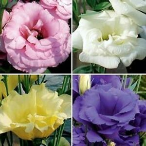 20+ LISIANTHUS FLOWER SEEDS MIX / LONG LASTING ANNUAL /  GREAT CUT FLOWER , GIFT