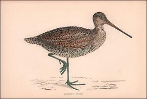 SABINES SNIPE Wading BIRD hand colored lithograph ANTIQUE ORIGINAL 1870 $24.00