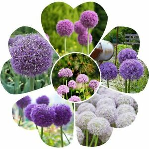 100Pcs Allium Giganteum Rare Seeds Viable Gigant Onion Colorful Garden Flowers