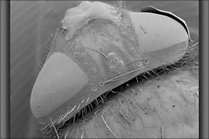 Poster Many Sizes; Scan Taken Of A House Fly Under A Scanning Electron Microsco