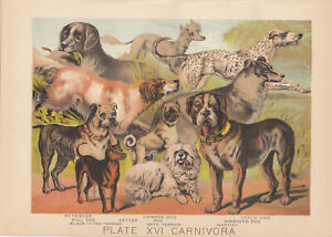 ANTIQUE DOG LITHOGRAPH SETTER PUG PIT BULL TERRIERS MASTIFF COLLIE OTHER BREEDS