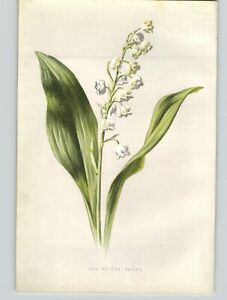 1880 Chromolithograph Lily of The Valley White Flower Botanical Print  $39.99