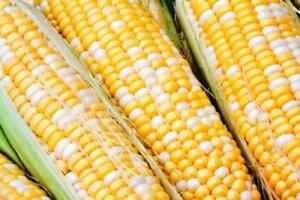 Sweet Corn Seed: Peaches & Cream Sweet Corn Seeds  Fresh Seed  FREE Shipping