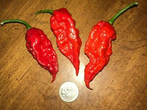Lot of 3 (75+ DAYS OLD) RED GHOST BHUT JOLOKIA Super Hot Pepper Live Plants