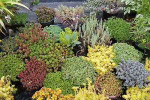 50 SEDUM CUTTINGS. COLD HARDY, 30+ different kinds, colors, shapes, sizes.