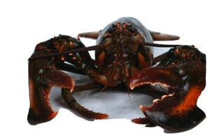 Live Lobsters from Massachusetts Bay to Stellwagon bank $8.99