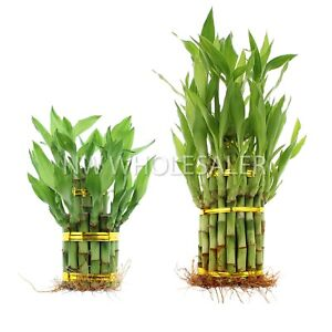 Lucky Bamboo Plant Pair of 2 Tier amp; 3 Tier Towers One Price