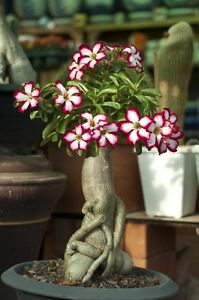 Desert Rose Plant Adenium obesum - Mature Bonsai New Hybrids