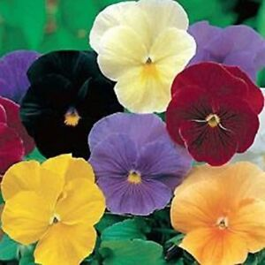 Pansy Clear Crystal Mix 50 Seeds BOGO 50% off SALE