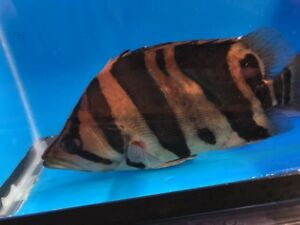 "Wide bar indo datnoid 8"" live tropical fish"