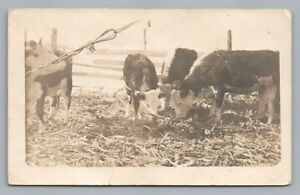 """""""Two Very Fine Herefords"""" RPPC Farm Advertising—Minnesota Photo—Antique Cows $12.99"""