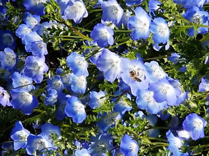 Mason Bee use Baby Blues-For Pollination