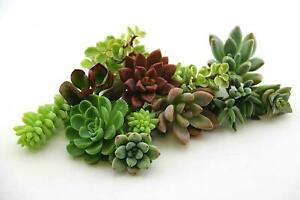 10 VARIETIES SUCCULENT - ASSORTED CUTTINGS