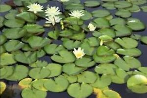 2 White Hardy Water Lily. Full Size Plant. FREE SHIPPING