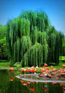 Golden Weeping Willow Tree - Ready to Plant - Beautiful Arching Canopy