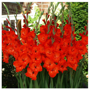 10 Bright Red Gladiolus Bulbs Large Flower Perennial Outside Plant Canna Lilly