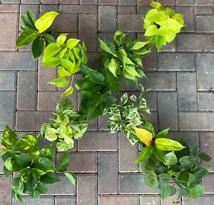 THE MOST POPULAR 4 INCH EPIPREMNUM AND PHILODENDRON INCLUDING RARE (NEW-ADD ON)