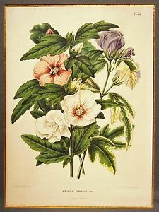 Abraham Jacobus Wendel Chromolithography Severeyns amp; Wolters Hibiscus Syriacus $89.54