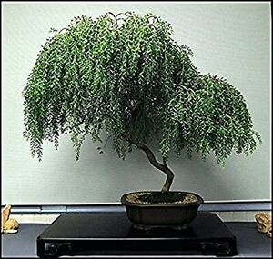 Bonsai Dwarf Weeping Willow Tree Thick Trunk Cutting Indoor Outdoor Live Tre $13.49