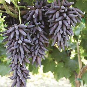 LADYFINGER SEEDLESS GRAPE VINE 5 unrooted cuttings for rooting or grafting $35.00