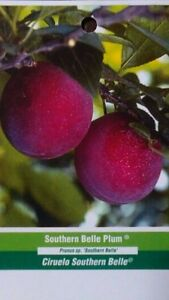 SOUTHERN BELLE PLUM 4-6 FT Fruit Tree Plant SWEET JUICY PLUMS Trees Plants