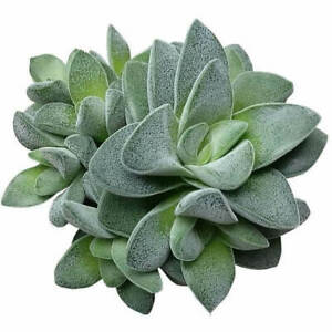 Crassula Morgans Beauty Succulent 2#x27;#x27; or 4#x27;#x27; $9.85