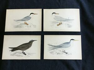 Sea Birds – 4 Hand colored antique lithographs TERNS $15.00