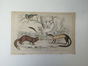 Weasels Ermine Mink Antique Lithographs set of 2 $10.00