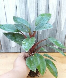 Super Dwarf Red Stem Philodendron