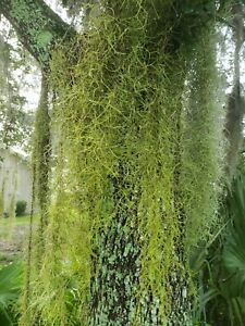 5 gallons of live Spanish moss from Florida