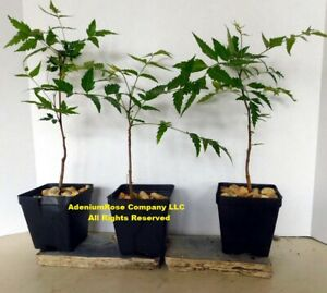 Rare Neem Tree plant Azadirachta indica Indian lilac USA Herb plant - In 4