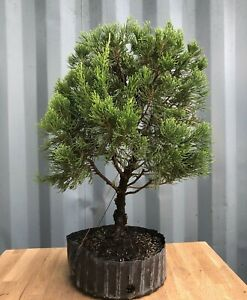 Hollywood Twisted Juniper Pre-Bonsai Tree by The Bonsai Supply