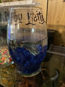 Live Dumbo Betta Male Fish $20.00