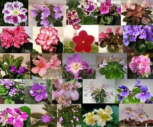 African Violet *Mini Semi Mini* YOU PICK 2 Leaves Unrooted Leaf Sets Pairs $3.25