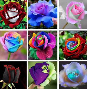 200Pcs Rose Flowers Seeds Rare 14 Kind Colors Decoration Plants in Home Garden