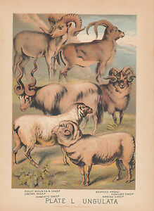 """1926 Vintage ANIMALS /""""MOUNTAIN SHEEP/"""" GORGEOUS COLOR Art Print Plate Lithograph"""