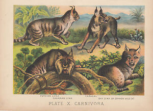 BOBCAT CANADIAN LYNX PERSIAN LYNX WILD CATS ANIMAL LITHOGRAPH ANTIQUE PRINT 1880 $12.95