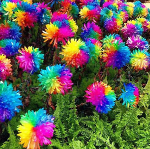 100Pcs Rainbow Chrysanthemum Flower Seeds Rare Colorful Plant for Home and Field