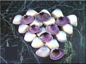 Lot of 100 Purple Baby Clam Shells Seashells 1 2 3 4 Sea Shell Crafts Beach