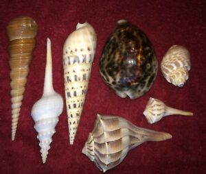 Lot of 7 sea shells