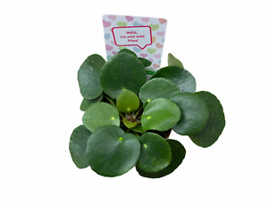 Pilea Peperomioides Chinese Money Plant Friendship Plant 2quot; Pot $9.99