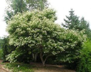 Seven Son Flower quot;Temple of Bloomquot; 3 4 Ft Large Shrub Small Tree Heptacodium