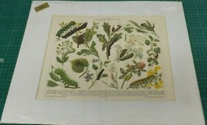 A VINTAGE 19TH CENTURY CHROMOLITHOGRAPH A STUDY OF CATERPILLARS 43cms by 36cms GBP 19.99