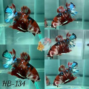 HB 134 Classic Red Koi Galaxy PK Live Male Plakat Betta Fish Premium Quality $25.90