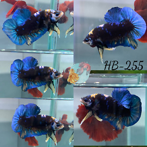 HB 255 Blue Devil Yellow FC HMPK Live Male Plakat Betta Fish Premium Quality $49.90